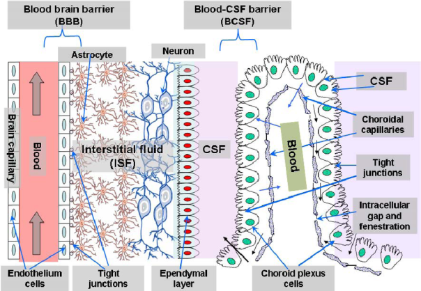 Overview-of-the-two-main-barriers-in-the-CNS-blood-brain-barrier-and-blood